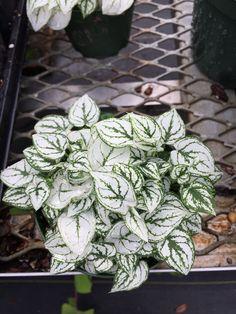 Caladium humboldtii - dwarf white caladium