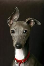 Italian Greyhound... beautiful. Someone please get me this dog