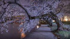 PHOTOS: Latest Peak Bloom for DC Cherry Blossoms Since 1993 - AccuWeather.com  |  Michael Donahue Photography...beautiful!