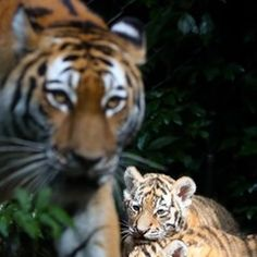 Two baby Siberian tiger explore their new home for the first time at Tierpark Hagenbeck in Hamburg