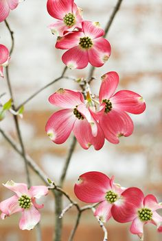 Dogwood a sign of spring and that you surely must be in the south!!  I adore these pink and red blooms want this tree so much!