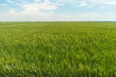 Paddy field with blue skies by Mawardi Bahar on 500px