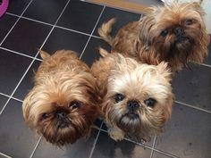 #brusselsgriffon trio...too cute!