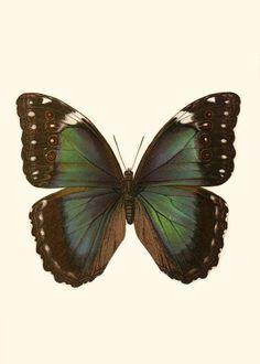 Vintage Butterfly Print  4x6  Butterfly by EmmaElizabethArtwork, $8.00
