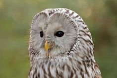 Ural Owl by Daniela Duncan, via Flickr