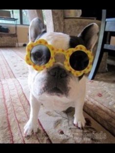 """My Mon says I'm Special"", French Bulldog in Daisy Sunglasses."