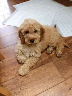 14 week old apricot cockapoo #puppy