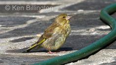 Greenfinch, Republic Of Ireland, Cork, Wildlife, Gallery, Animals, Animales, Roof Rack, Animaux