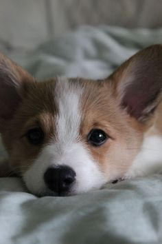 too cute, very hard to discipline when they look at you like this.. #corgipuppies #cutecorgi