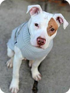 Elizabethtown, PA - Pit Bull Terrier Mix. Meet Valentino, a puppy for adoption. http://www.adoptapet.com/pet/12438149-elizabethtown-pennsylvania-pit-bull-terrier-mix