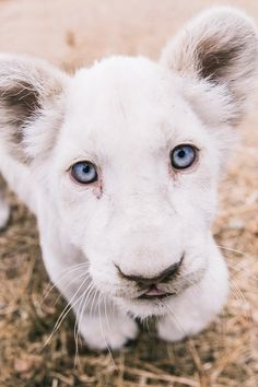 Close up of a Cute White Lion Cub By Mike Kolesnikov