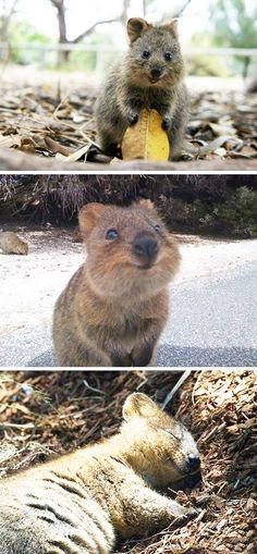 Quokkas are happy all the time