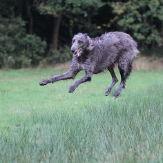 robvandepeppel:  Crazy jump #deerhound #levrier #sighthound #largedoglove #gentlegiantoftheday