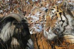 Тигра Амура и козла Тимура ждет новогодний сюрприз, однако, пока его детали не разглашаются. Кроме того, в администрации сафари-парка сообщили, что в дни зимних каникул они ожидают наплыв посетителей, желающих своими глазами увидеть живот...  #посетителей, #администрации, #тигра,  #Likada #PRO #news #новость