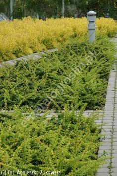 Instead of a lawn cotoneaster dammeri 39 major 39 garden pinterest tr dg rdssk tsel och v xter - Cotoneaster dammeri green carpet ...