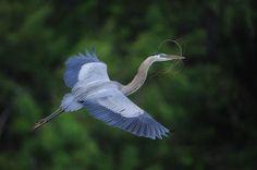 great blue heron #blue #birds #heron