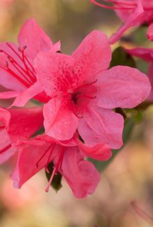 "Autumn Cheer™ | Encore® Azalea: The compact growth habit of this dainty variety makes it well suited for small gardens.    Bloom Color:	Pink  Plant Size:	Dwarf  Height:	3 feet  Spread:	3.5 feet  Bloom Span:	1.25"" across  Bloom Form:	Single  USDA Zones:	6a, 6b, 7, 8, 9"