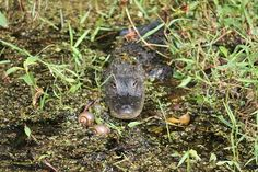 Young gator Airboat Rides, Florida, Animals, Animales, Animaux, Animais, Animal