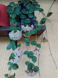 Hoya Mathilda Care advice for hoya plants: https://www.houseplant411.com/houseplant/hoya-plant-how-to-grow-care-tips