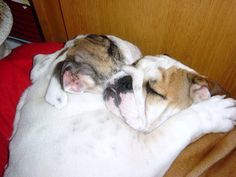 """❤ No """"bumps in the night"""" worry these two ❤ Posted on I love English Bulldogs Animals And Pets, Baby Animals, Cute Animals, Funny Dogs, Cute Dogs, Bulldog Quotes, Boston Terrier Pug, Sleeping Puppies, Bully Dog"""