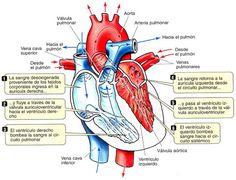 Ciclo Cardíaco Medicine Notes, Medicine Student, Med Student, Student Studying, Medical Science, Medical School, All Body Workout, Medical Anatomy, Veterinary Medicine