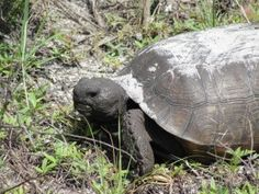 Gopher Tortoise who resides at the entrance of the SWFL Conservancy in Naples Florida.  He took a break from eating and stayed still for the perfect pose.