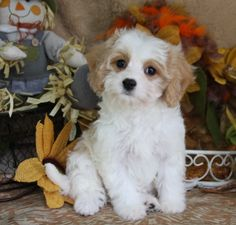 What makes a Cavachon such a great family pet? The Cavachon, a blend of the adorable Cavalier King Charles Spaniel with the people-loving Bichon Frise is no wonder, one of the most popular Designer Dogs on the planet! Cavachon Puppies, Cute Puppies, Cute Dogs, Puppys, Dog Photos, Dog Pictures, Animals For Kids, Cute Animals, Forever Puppy