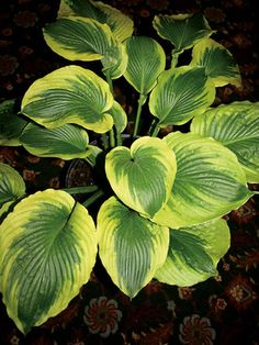 Add versatility to your garden with Hosta varieties from Bluestone Perennials. Shop our wide selection to find the perfect Hosta flowers for your yard. Green Garden, Shade Garden, Hosta Varieties, Hosta Gardens, Flowers For You, Flowers Perennials, Flower Beds, Mother Nature, Shrubs