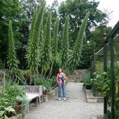 Echium Plants | Echium wildpretii grows in the alpine areas of Tenerife, Canary ...