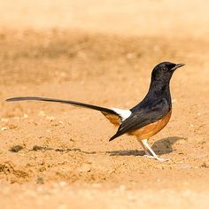 White-rumped Shama (male) - Copsychus malabaricus | Flickr - Photo Sharing!
