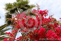 Beautiful red bougainvillea flower in Gran Canaria. Floral background