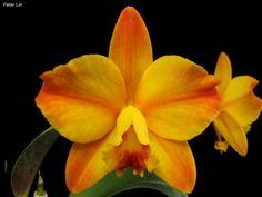 Cattleya hybrid (Cattleya Beaufort x Cattleya California Apricot