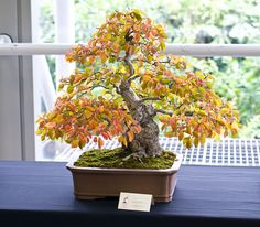 Korean Hornbeam Bonsai Tree (Carpinus Turczaninowii) at Don Valley Bonsai Roadshow in Sheffield Indoor Bonsai Tree, Bonsai Plants, Bonsai Garden, Garden Trees, Cactus Plants, Indoor Plants, Indoor Outdoor, Bonsai Meaning, Dwarf Trees