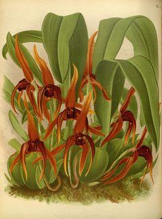 Maxillaria nigrescens Orchid album, London :B. S. Williams,1882-97..