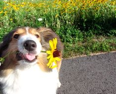"""""""Thith ith for yooou!"""" #collie #dog #cute I brought you a flower."""