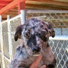 Miley: Catahoula Leopard Dog, Dog; Tampa, FL