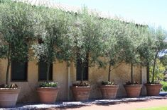 Good Looking Olive Trees Pots