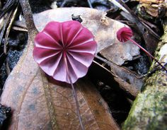 Marasmius Fungus- from far away I thought this was origami