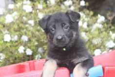 German shepherd puppy for sale in Pa. - This is a 6 week old german shepherd puppy for sale at http://www.network34.com