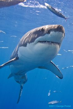 Sharks only kill 5 people a year.     But humans kill 4 million sharks.     In ONE year.     (Great White Shark by George Probst)