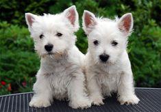 Cachorro West Highland White Terrier 2