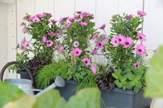 Första planteringen med uppstammade stjärnögon som ger insynsskydd och både lämnar plats och skuggar kryddorna: gräslök, oregano och basilika