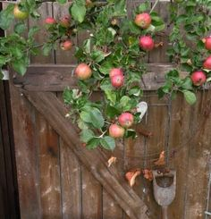 <3~are the apples ready yet? huh huh..can we please pick one today?