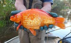 Revenge of the Goldfish! Dumped Pets Growing into Giant Monsters