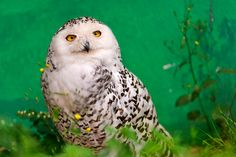 {Snowy owl} gorgeous against the green!