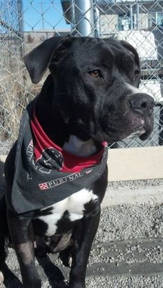 Joker is an adoptable Boxer Pit Bull Terrier Dog in Pullman WA Joker is a 2-year old neutered male boxer\/pit bull mix. He has had a past history with our shel ... ...Read more about me on @Petfinder.com.com