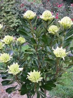 Waratah (Telopea) Cultivar/variety: Golden Globe, Shady Lady Yellow A dense medium to large shrub with grey-green foliage with large flat flower heads. Fantastic new waratah that is a cross between Telopea Speciosissima x truncatta and T. Australian Wildflowers, Australian Native Flowers, Australian Plants, Australian Garden Design, Australian Native Garden, Rare Flowers, Beautiful Flowers, Big Flowers, Spring Flowers