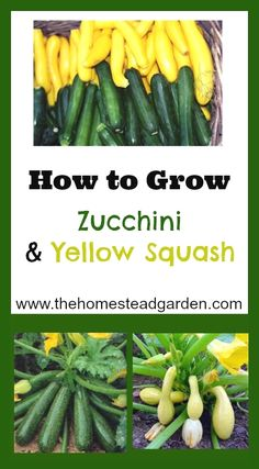 Learn how to grow an abundant harvest of Zucchini and Yellow Squash. These plants will delight you in the garden as well as in the kitchen. Nothing beats fresh garden summer squash!  #gardeningideas