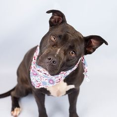 Three year old Ollie (ID 585194) is hoping for a new hope in 2018 can you make her wish come true?  This 56 pound American Staffordshire terrier mix is a Dollys Dream Dog so her adoption fee is sponsored and she gets to go home with the goodies she will need to settle into her new home.  For Ollie her life so far has not been great.  Her previous owner got her as a little pup and she was kept in the backyard 24/7.  The kids would play with her sometimes but then they would go back inside and…