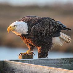 Kicking off the #greatbackyardbirdcount with my favorite backyard bird.  #gbbc2018 #photographerisstillinpajamas #greatbackyardbirdcount2018 #helivesinmybackyard #stoppedinmytracks #Deweesisland #sunrise #readysetgo #eagle #yearofthebird  #baldeagle #protectwhatyoulove #eaglesofinstagram @audubon_sc @audubonsociety  @cornelllabofornithology